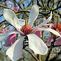 Magnolia Flower by Julia Gavin