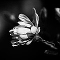 Magnolia by  Kelly Hayner