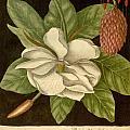Magnolia by Philip Ralley