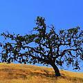 Majestic California Oak by Jeff Lowe