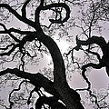 Majestic Oak by Amy Fearn