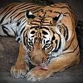 Malayan Tiger by Savannah Gibbs