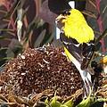 Male American Goldfinch by J McCombie