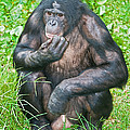 Male Bonobo by Millard H. Sharp