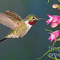 Male Broad-tailed Hummingbird by Anthony Mercieca