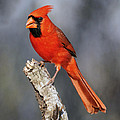 Male Cardinal by Dave Mills