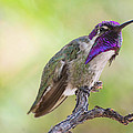 Male Costa Hummingbird by Michael Moriarty