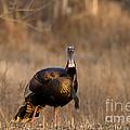 Male Eastern Wild Turkey by Linda Freshwaters Arndt
