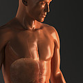 Male Figure With Digestive System by Science Picture Co