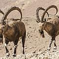 Male Nubian Ibex by Eyal Bartov