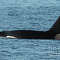 Male Orca Killer Whale In Monterey Bay California 2013 by California Views Mr Pat Hathaway Archives