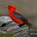 Male Scarlet Tanager by Anthony Mercieca