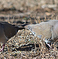 Male White Wing Doves by Ruth  Housley