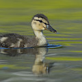 Mallard Duck Swimming In Marsh Pond by John Shaw