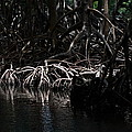 Mangrove Forest Of The Los Haitises National Park Dominican Republic by Andrei Filippov