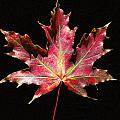 Maple Leaf by Petra Stephens