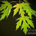 Maple Leaves by Brian Mollenkopf
