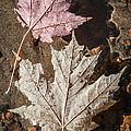 Maple Leaves In Water by Elena Elisseeva
