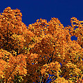 Maple Tree In Autumn by David Dufresne
