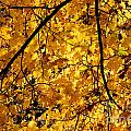 Maple Tree In Yellow Fall Colors by Jannis Werner