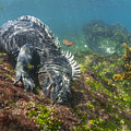 Marine Iguana Feeding On Algae Punta by Tui De Roy