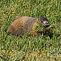 Marmot Gathering Grass At Rock Cut In Rocky Mountain National Park by Fred Stearns