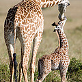 Masai Giraffe Giraffa Camelopardalis by Panoramic Images
