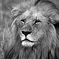 Masai Mara Lion  by Aidan Moran