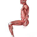 Medical Illustration Of Male Muscles by Stocktrek Images