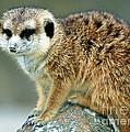 Meerkat Suricata Suricatta by Millard H. Sharp