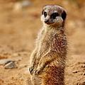 Meerkats by Heike Hultsch