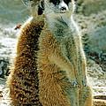 Meerkats by Millard H. Sharp