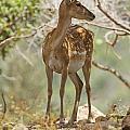 Mesopotamian Fallow Deer 5 by Eyal Bartov