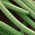 Microcoleus Cyanobacteria, Sem by Science Photo Library