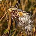 Milkweed by Steve Harrington