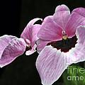Miltoniopsis Alger by Terri Winkler