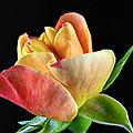 Minature Rose  by Ben Bassey