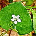 Miner's Lettuce In Park Sierra Near Coarsegold-california  by Ruth Hager