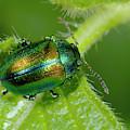 Mint Beetle by Nigel Downer