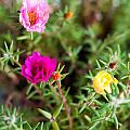 Mixed Portulaca by Frank Gaertner
