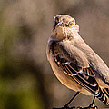 Mockingbird by John Johnson