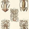 Molluscs Or Soft Worms by German School