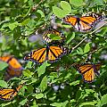 Monarch Butterflies by Melinda Fawver