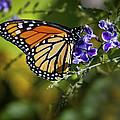 Monarch Butterfly by David Millenheft