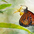 Queen Butterfly Danaus Gilippus by Michael Moriarty