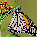 Monarch Butterfly by Millard H Sharp