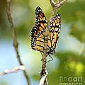 Monarch by Lori Tordsen