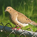 Morning Dove I by Debbie Portwood