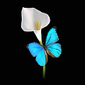 Morpho On Calla by David Armstrong