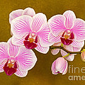 Moth Orchid by Millard H. Sharp